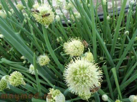 18 Пчёлы любят лук