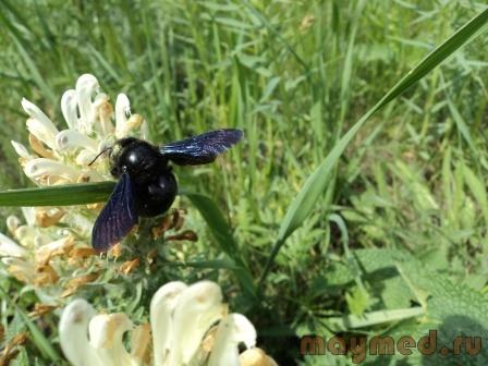 8 Пчела-плотник