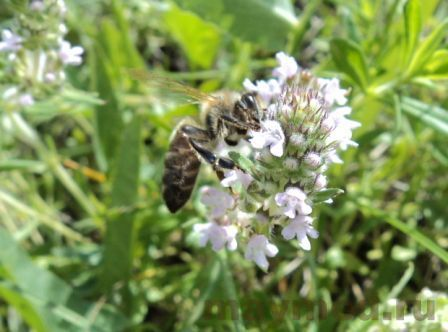 Пчела на чабреце
