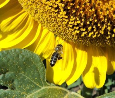 Пчела летит на подсолнечник