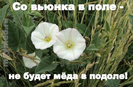 Демотиватор с цветком вьюнком полевым