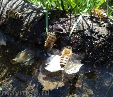 Пчёлы пьют воду