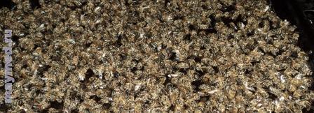 Сушка подмора пчёл.