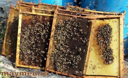 Скармливание мёда пчёлам